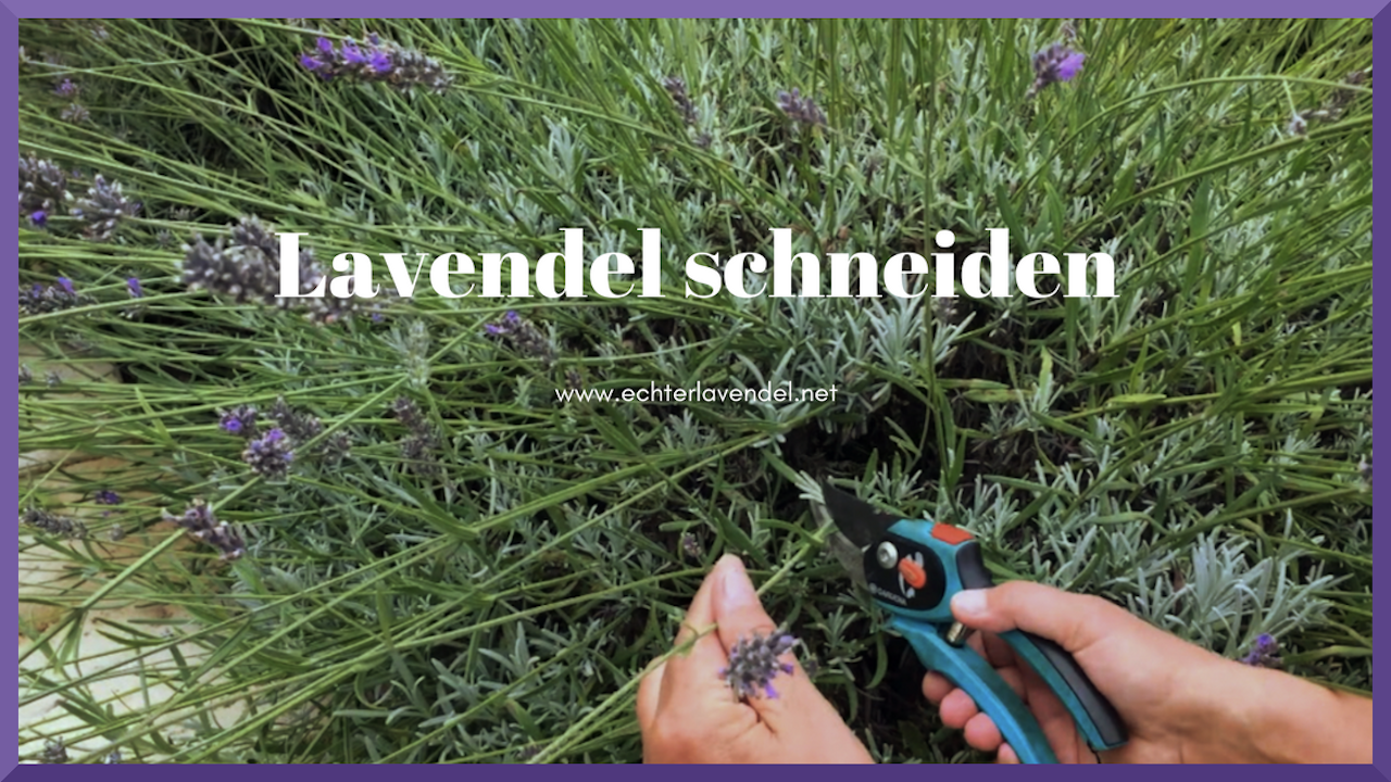 Lavendel schneiden Video